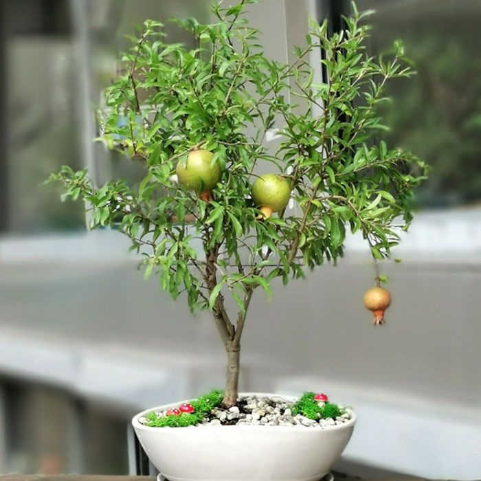 Nar Bonsai - Punica Granatum Nana