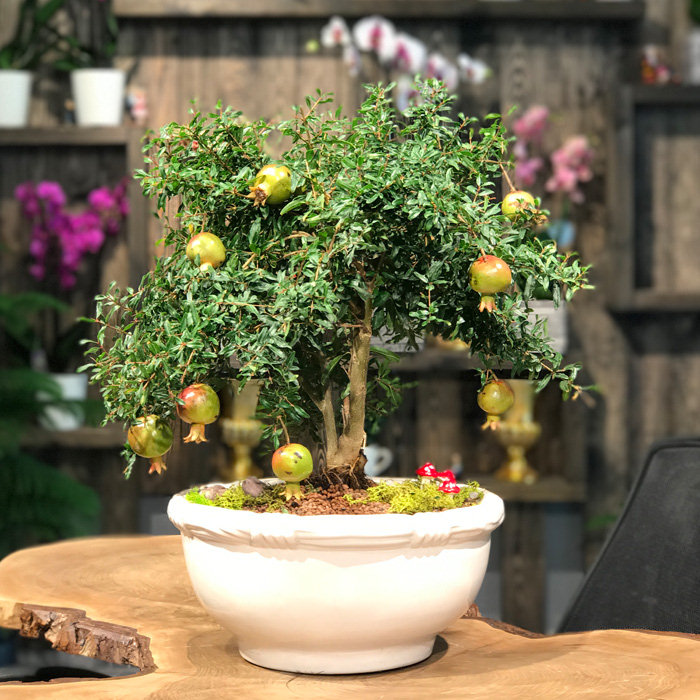Nar Bonsai (Punica Granatum Nana)