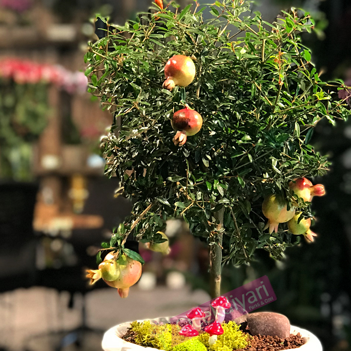 Nar Bonsai (Pomegranate)