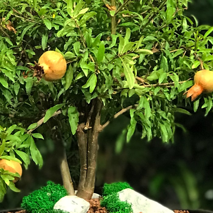 Nar Bonsai - Punica Granatum Nana