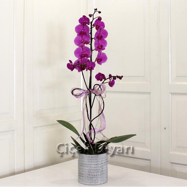 Tekli Fuşya Orkide