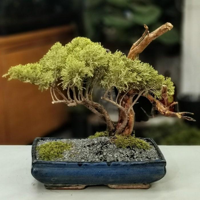Juniperus Bonsai Half Cascade