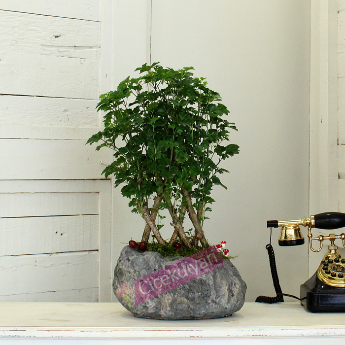 Örgülü Polyscias Bonsai