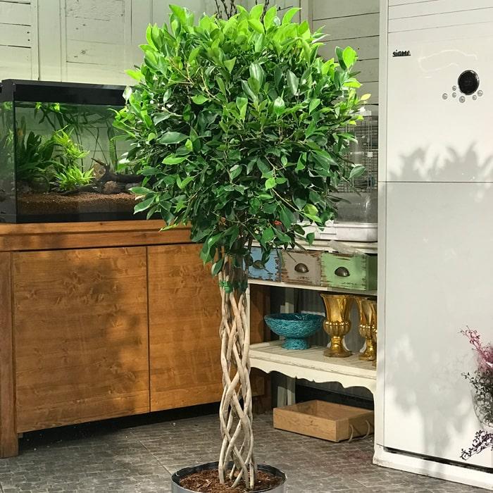 Kafes Örgü Ficus Nitida