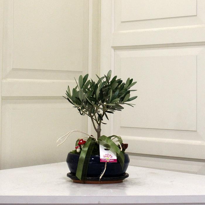 Minyatür Zeytin Bonsai