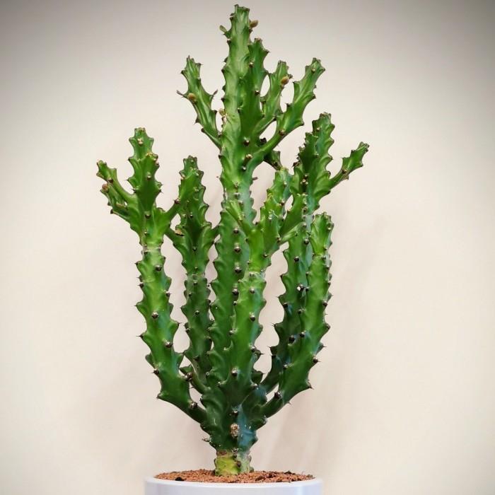 Euphorbia Mayurnathanii Kaktüs