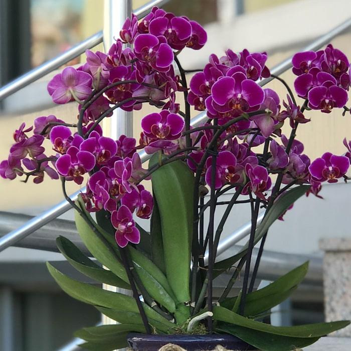 Özel Midi Orkide