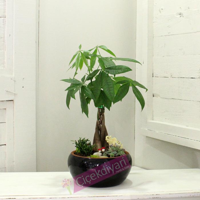 Para Ağacı(Pachira)