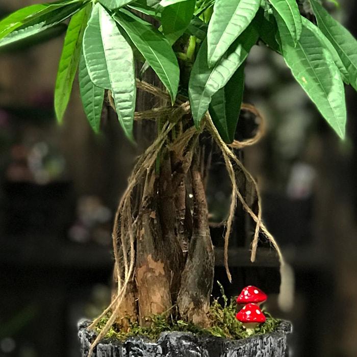 Küçük Pachira Bonsai