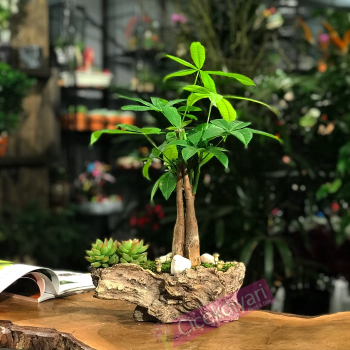 Pachira Bonsai ve Sukkulent