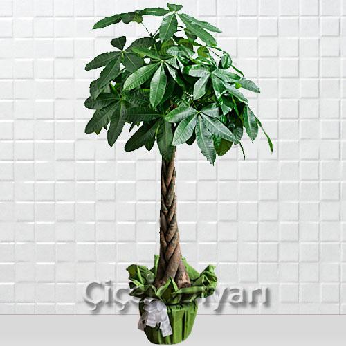 Pachira (Para Ağacı)