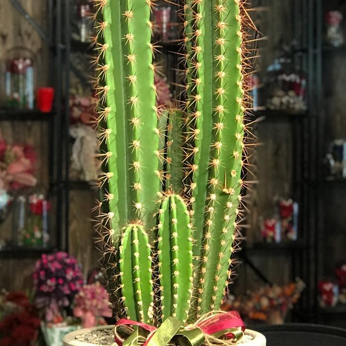 Pectina Beriginium Cactus