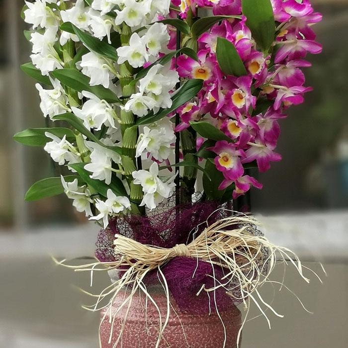 Fuþya-Beyaz Bambu Orkide