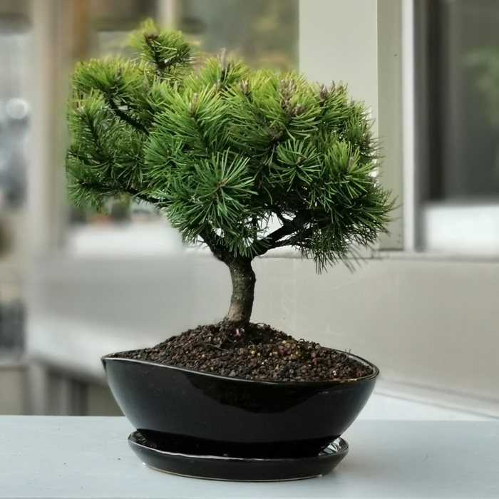 Çam Bonsai - Pinus thunbergii