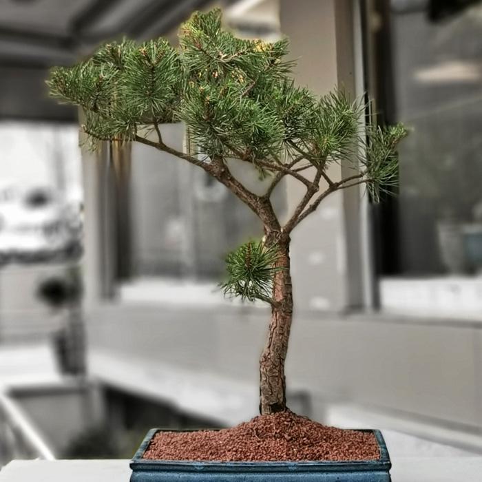 Pinus Thunbergii Mikawa