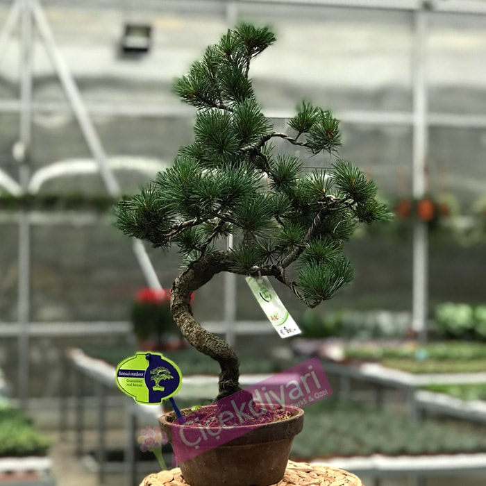 Pinus (Çam) Bonsai