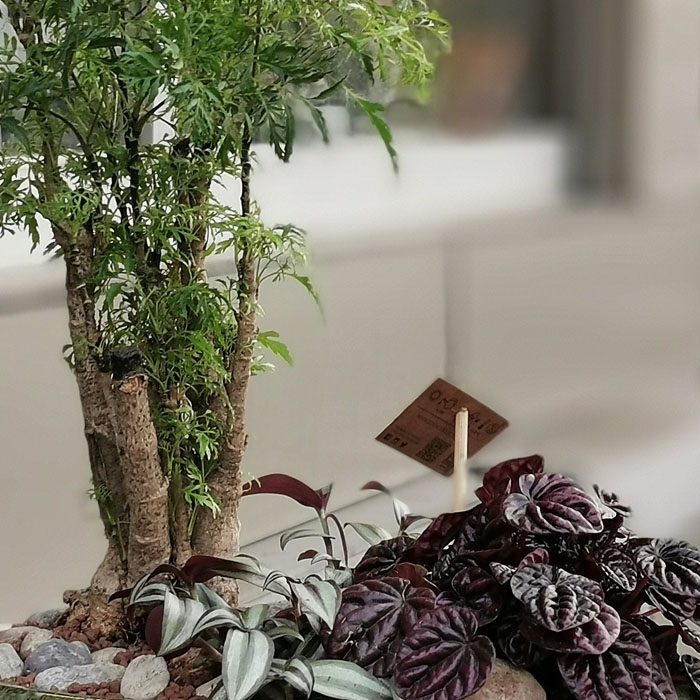 Polyscias Bonsai