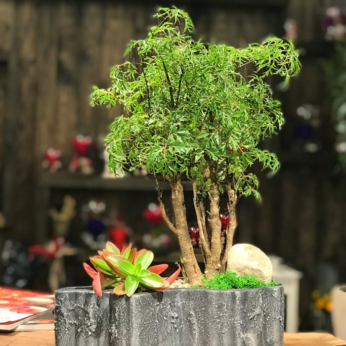 Polyscias Bonsai ve Crassula