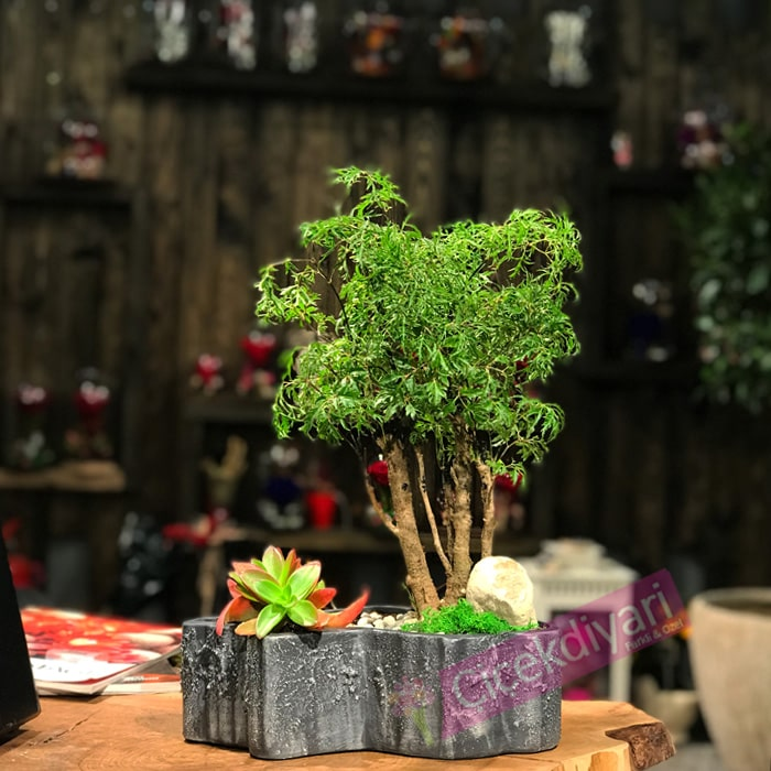 Polyscias Bonsai ve Sukkulent