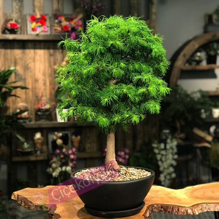 Pseudolarex Bonsai