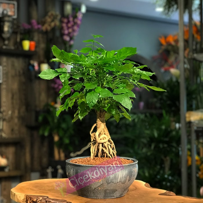 Radermachera Bonsai
