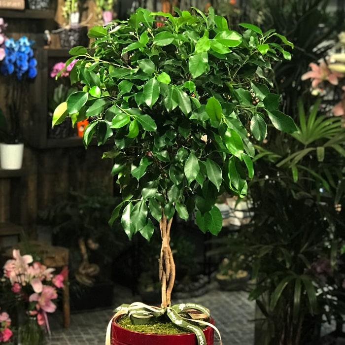 Tijli Ficus Benjamin