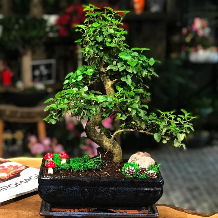Sageratia Bonsai - Orta Boy