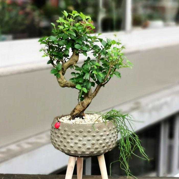 Sageratia bonsai
