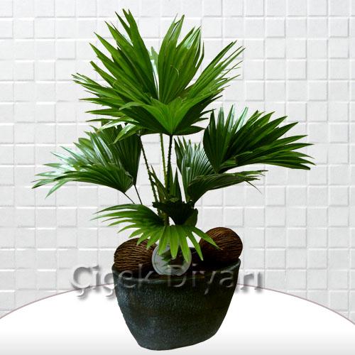 salon palmiyesi livistona i ek i salon palmiyesi
