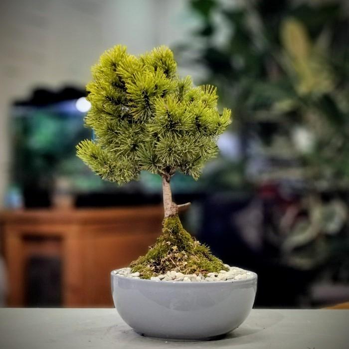 Pinus Thunbergii - Çam Bonsai