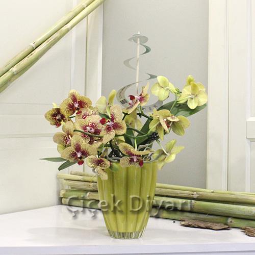 Sarmaşık Orkide