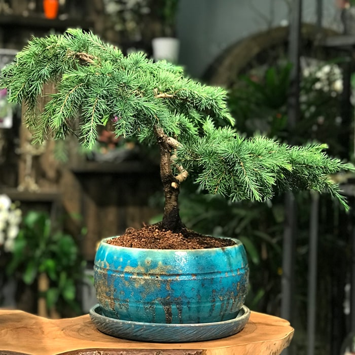 Sedir Bonsai