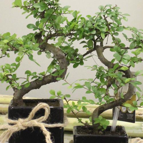 2 li Bonsai Siyah Seramik