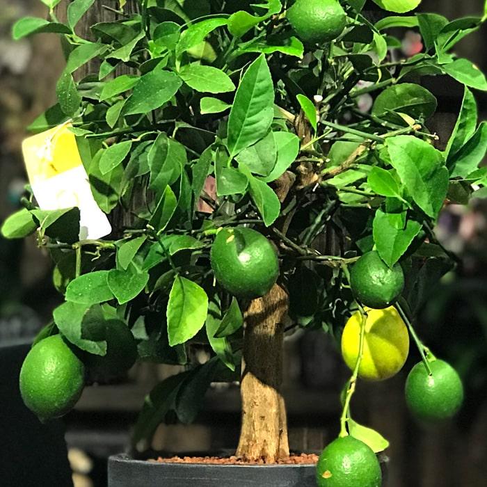 Küçük Limon Aðacý