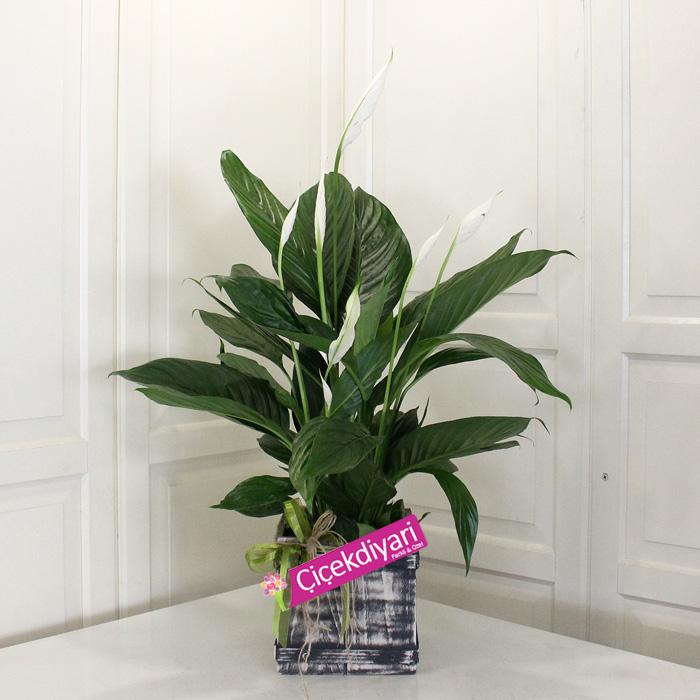 Barış Çiçeği(Spatifilium)