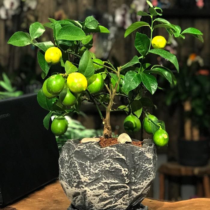 Minyatür Limon Aðacý