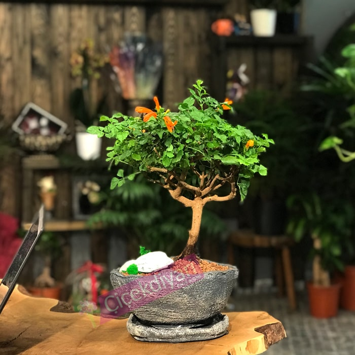 Techomaria Bonsai