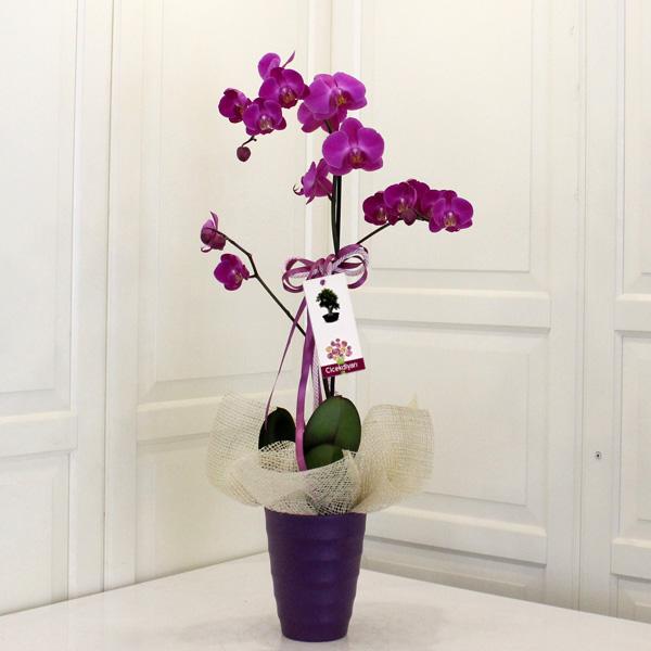 Tekli Fu�ya Orkide
