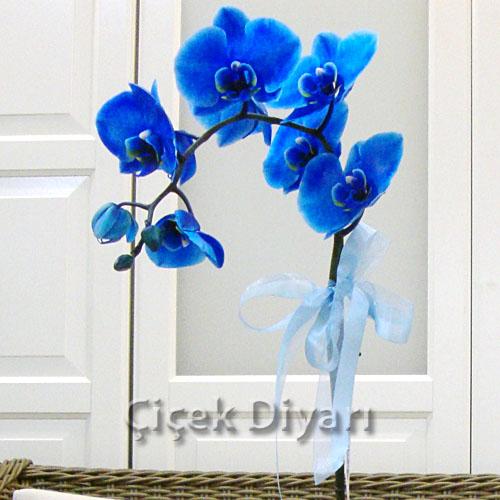 Tek Dal Mavi Orkide