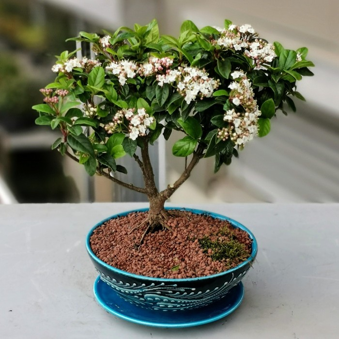 Minai Serisi Kartopu Bonsai