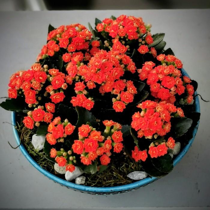 Orange Kalanchoe