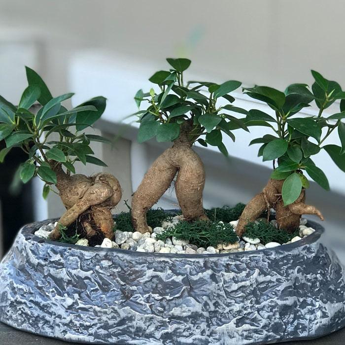 Mini Ginseng Bonsailer
