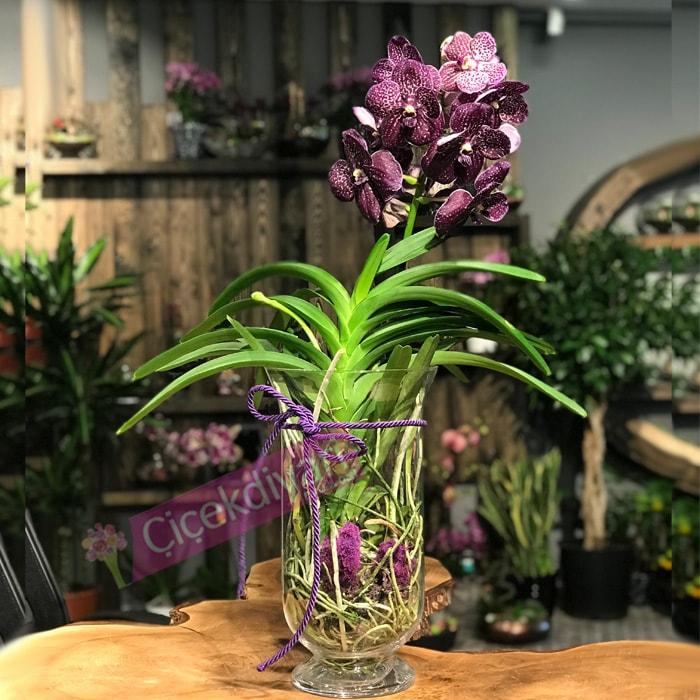 Vanda Orkide