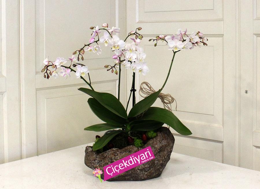 Wild Orkide