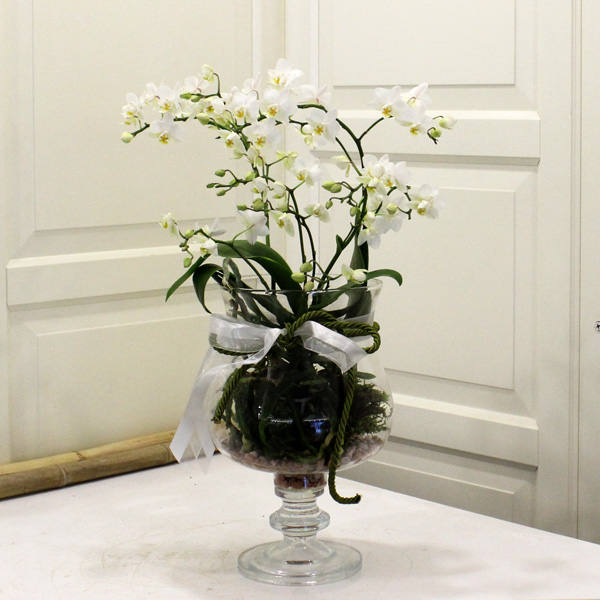 Camda Wild Orkide