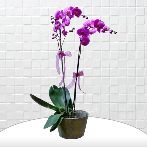 Jumbo boy pembe orkide