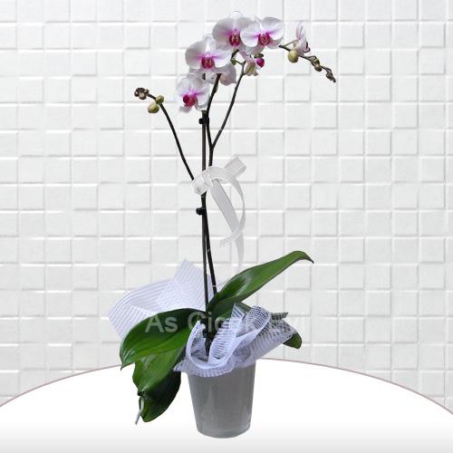 Pembe beyaz tekli orkide