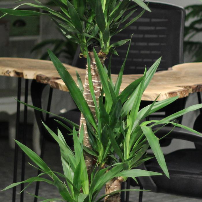3 lü Yucca Bitkisi