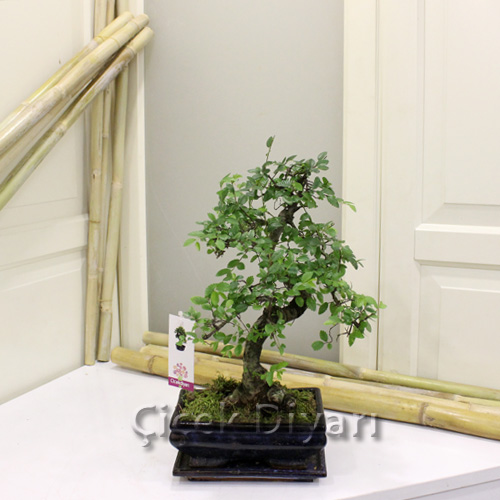 K���k Zelkova Bonsai