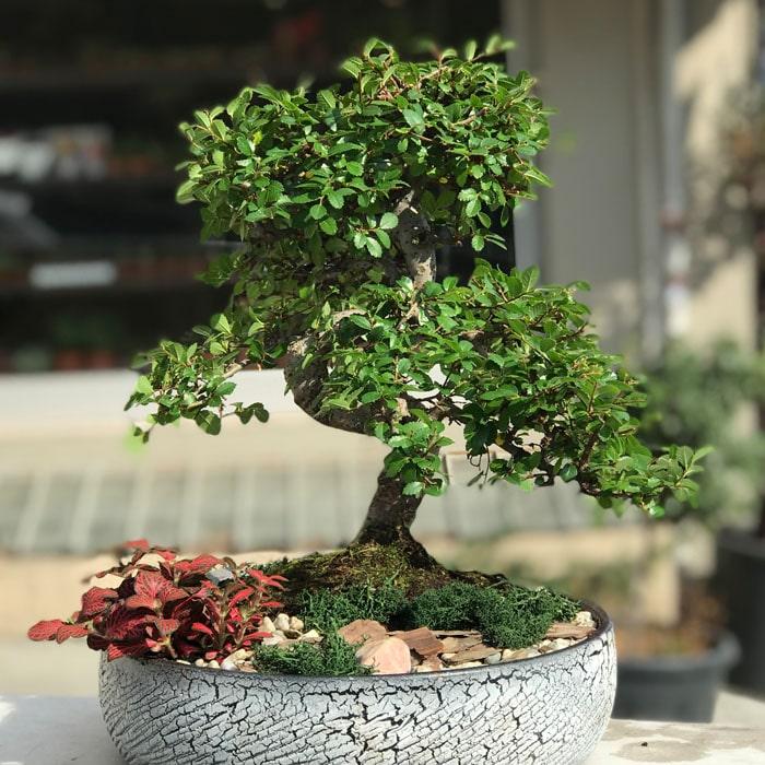 Zelkova Bonsai - Phitonia